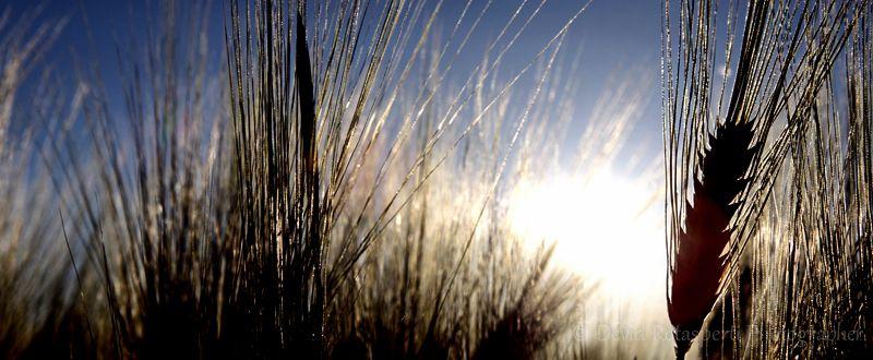 Campo di grano - Devid Rotasperti Photographer
